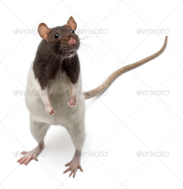 Fancy Rat standing up in front of white background - Stock Photo - Images