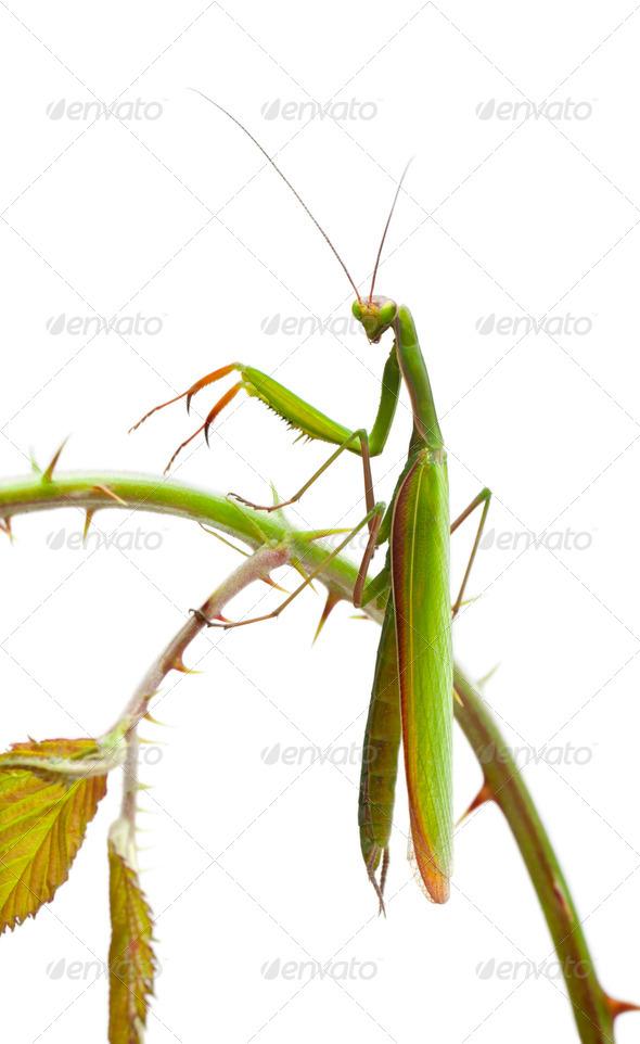 Female European Mantis or Praying Mantis, Mantis religiosa, on stem in front of white background - Stock Photo - Images