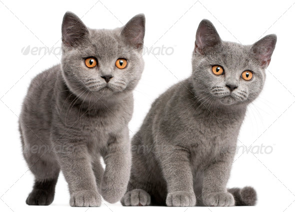 British Shorthair kittens, 3 months old, in front of white background - Stock Photo - Images