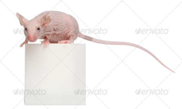 Hairless House mouse, Mus musculus, 3 months old, on box in front of white background - Stock Photo - Images