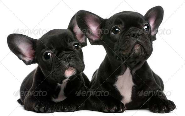 Two French Bulldogs puppies, 8 weeks old, in front of white background - Stock Photo - Images