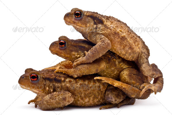 Three common toads or European toads, Bufo bufo, stacked in front of white background - Stock Photo - Images