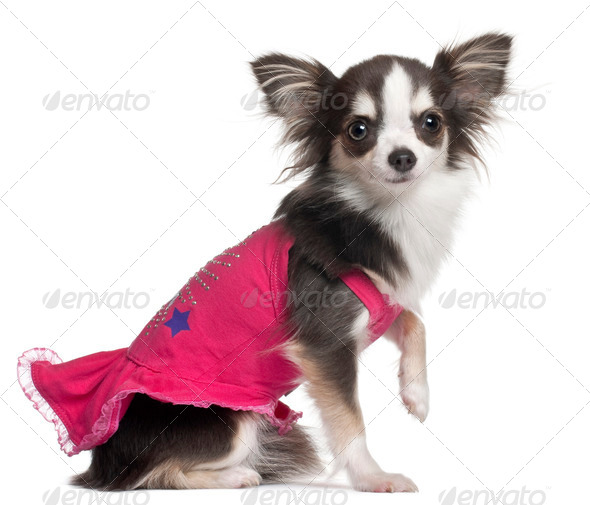 Chihuahua in pink, 1 year old, sitting in front of white background - Stock Photo - Images