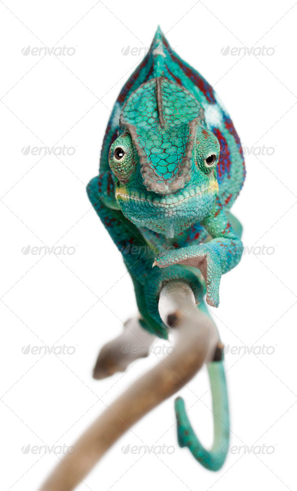 Panther Chameleon Nosy Be, Furcifer pardalis, in front of white background - Stock Photo - Images
