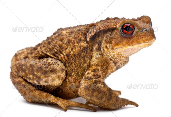 Common toad, bufo bufo, in front of white background - Stock Photo - Images