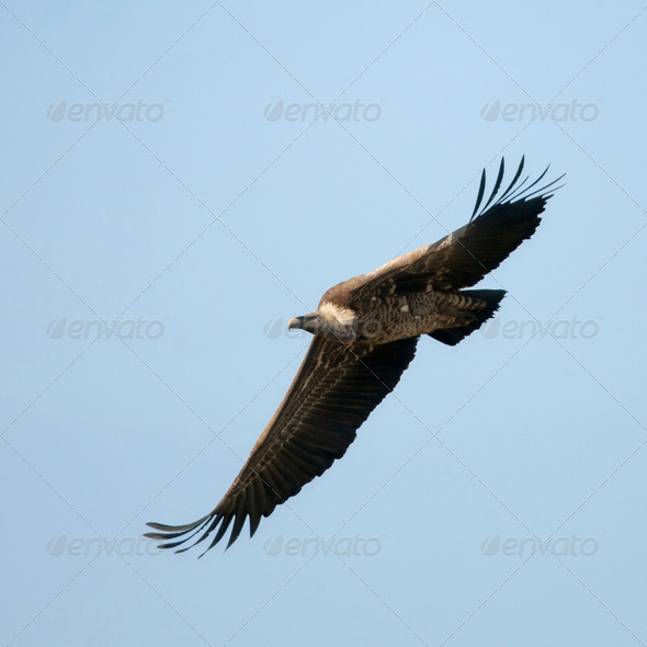 White-backed Vulture flying in Serengeti National Park, Tanzania, Africa - Stock Photo - Images