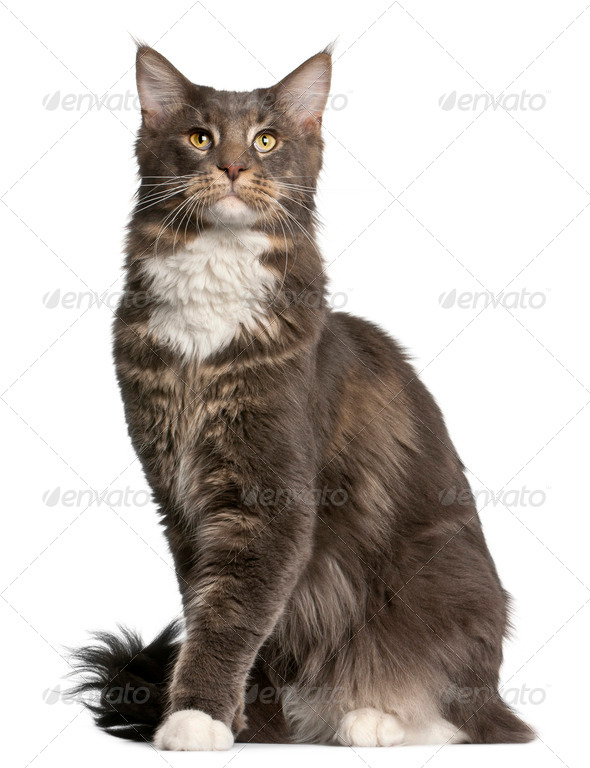 Maine Coon cat, 11 months old, sitting in front of white background - Stock Photo - Images