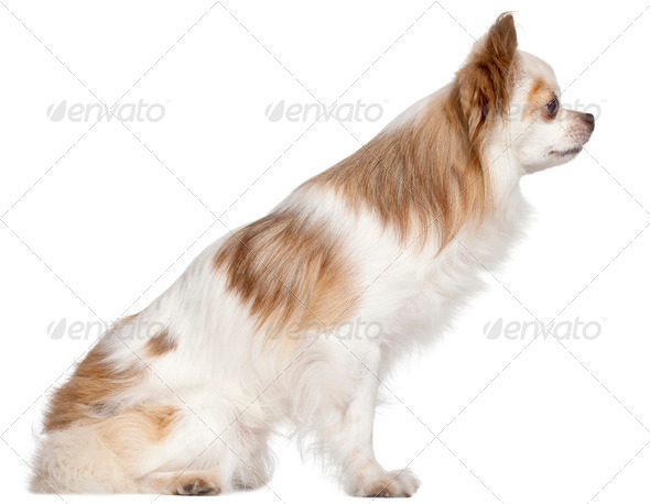 Side view of Chihuahua, 7 years old, in front of white background - Stock Photo - Images