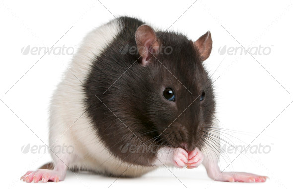 Fancy Rat, 1 year old, in front of white background - Stock Photo - Images