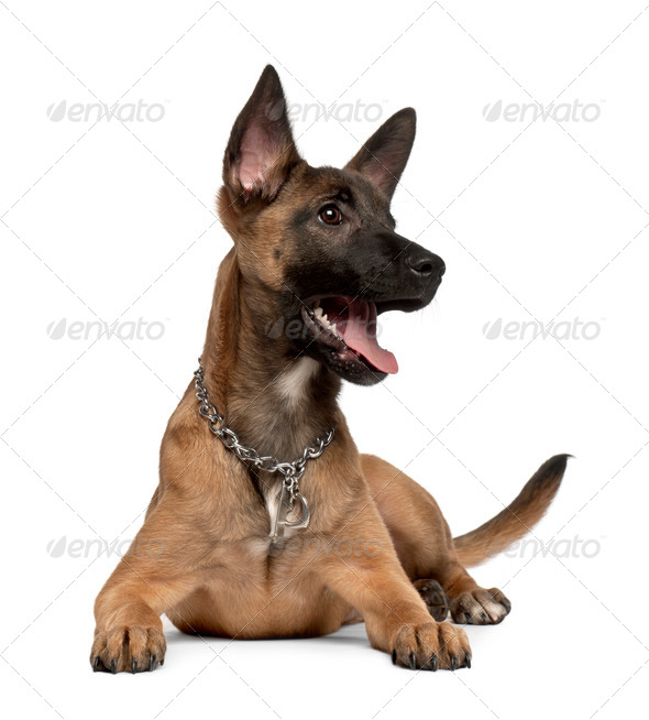 Belgian shepherd dog, 4 months old, in front of white background - Stock Photo - Images