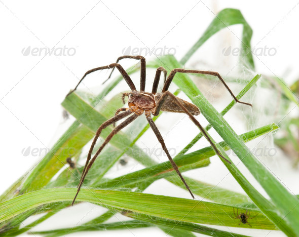 Nursery web spider, Pisaura mirabillis, with spiderling in nest in front of white background - Stock Photo - Images