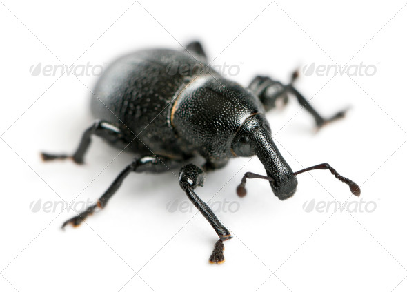 Beetle, Liparus dirus, larva in front of white background - Stock Photo - Images