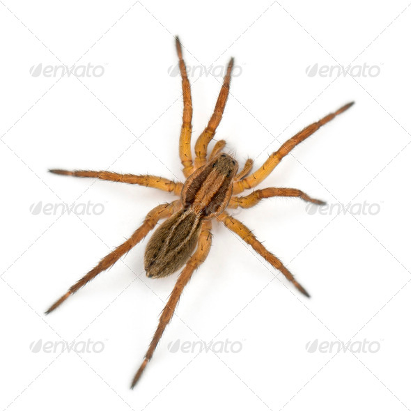Spider, Pirata piraticus, in front of white background - Stock Photo - Images