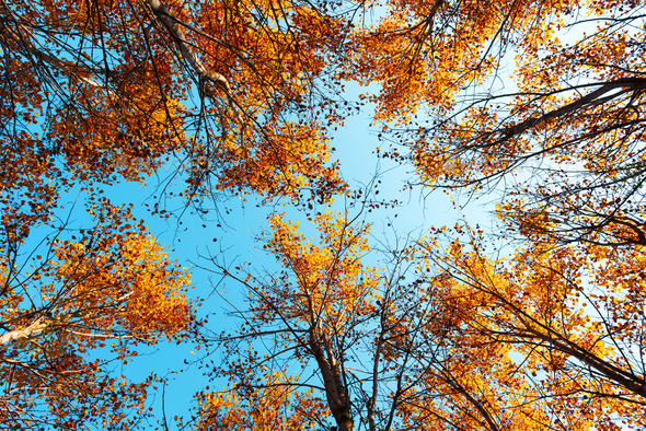 Orange birch tree with a blue sky - Stock Photo - Images