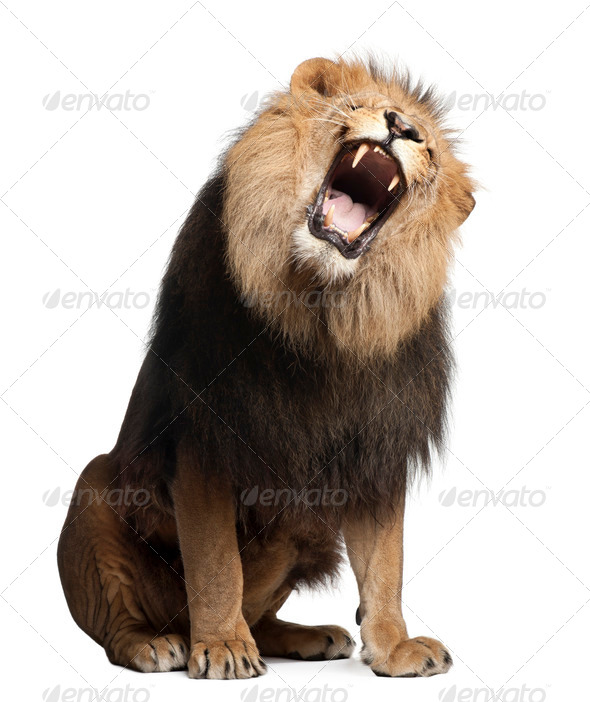 Lion, Panthera leo, 8 years old, roaring in front of white background - Stock Photo - Images
