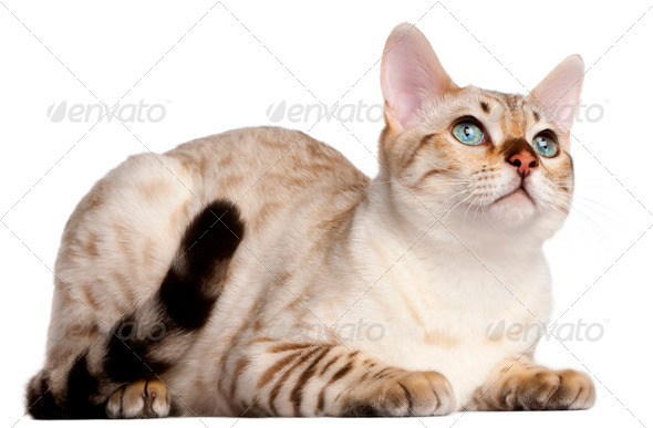Bengal cat, 6 months old, lying in front of white background - Stock Photo - Images