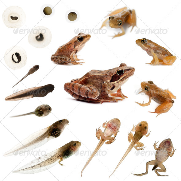 Composition of the complete evolution of a Common frog in front of a white background - Stock Photo - Images