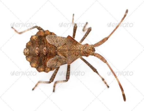 Dock bug, Coreus marginatus, species of squash bug, in front of white background - Stock Photo - Images