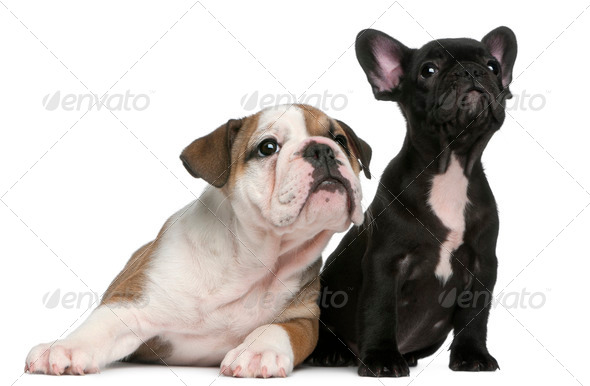 French Bulldog puppy and English Bulldog puppy, 8 weeks old, looking up in front of white background - Stock Photo - Images