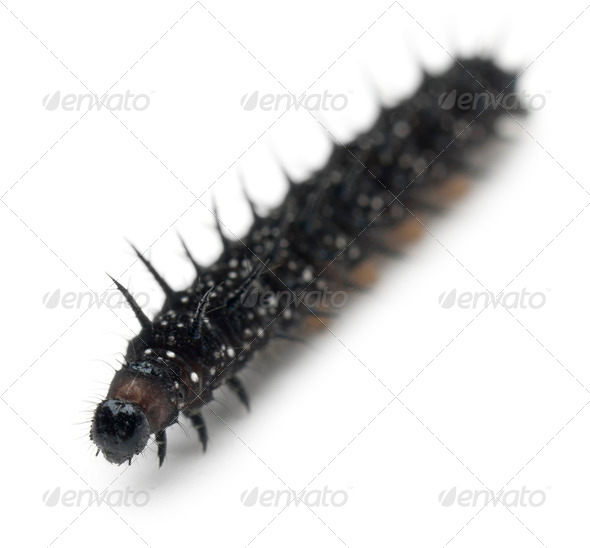 Caterpillar of a Peacock butterfly, Inachis io, in front of white background - Stock Photo - Images
