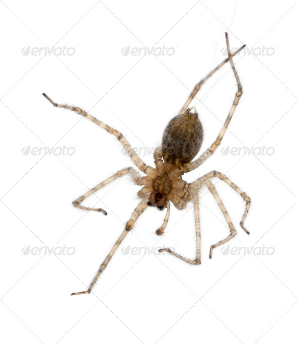 Cardinal spider, Tegenaria parietina, hanging from it's thread in front of white background - Stock Photo - Images