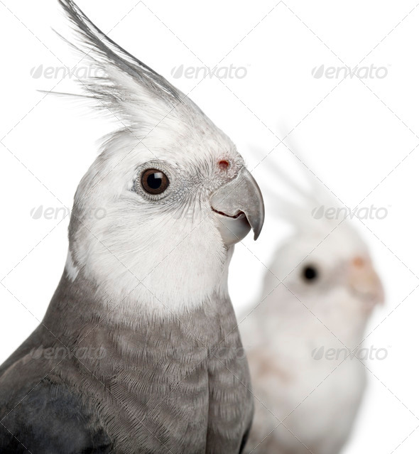 Close-up of Male and female Cockatiel, Nymphicus hollandicus, in front of white background - Stock Photo - Images