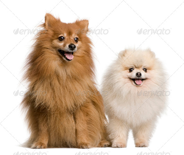 Two Spitz, 4 and 7 years old, in front of white background, studio shot - Stock Photo - Images