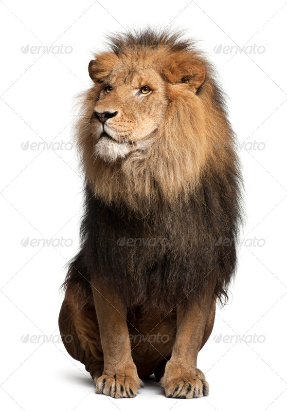Lion, Panthera leo, 8 years old, sitting in front of white background - Stock Photo - Images