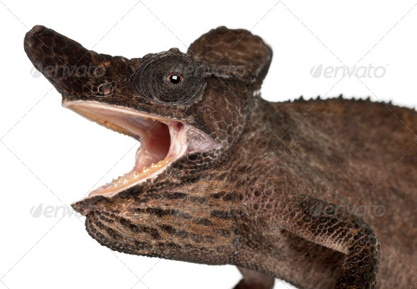 Close-up of Strange-nosed Chameleon, Kinyongia xenorhina, in front of white background - Stock Photo - Images