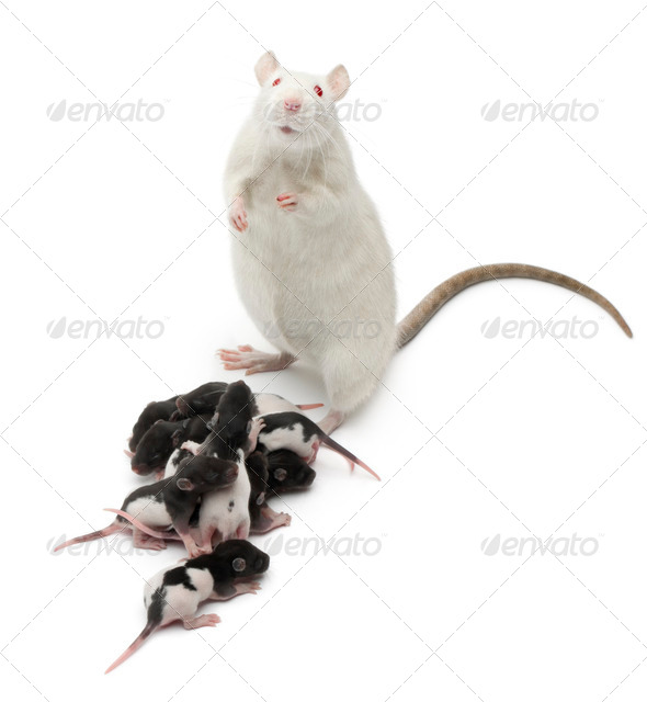 Fancy Rat next to its babies and looking at the camera in front of white background - Stock Photo - Images