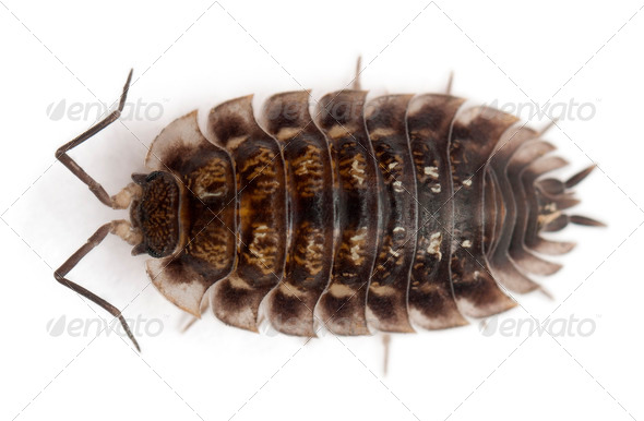 High angle view of Common woodlouse, Oniscus asellus, in front of white background - Stock Photo - Images