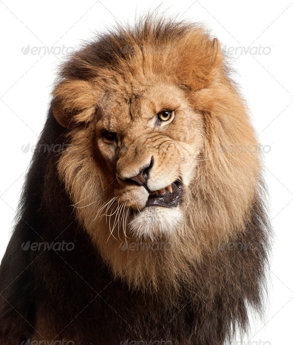 Close-up of lion snarling, Panthera leo, 8 years old, in front of white background - Stock Photo - Images