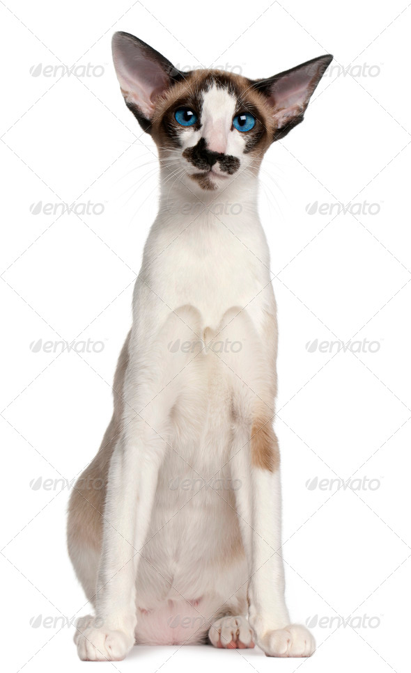 Siamese cat, 7 months old, sitting in front of white background - Stock Photo - Images