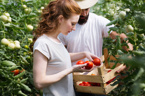 Friendly team harvesting fresh vegetables from the greenhouse garden - Stock Photo - Images