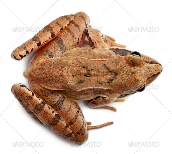 High angle view of a Moor Frog, Rana arvalis, in front of white background - Stock Photo - Images