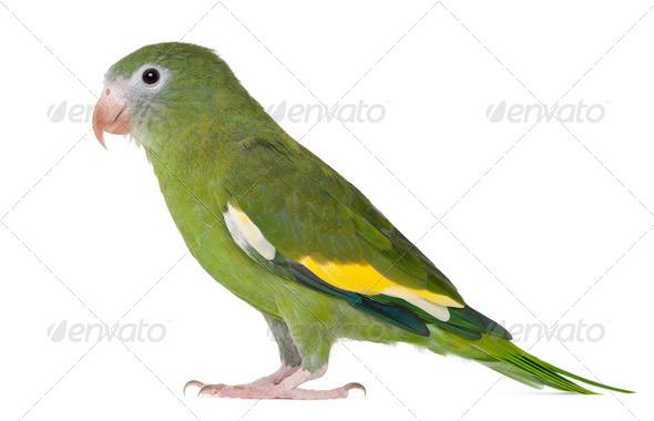 White-winged Parakeet, Brotogeris versicolurus, 5 years old, in front of white background - Stock Photo - Images
