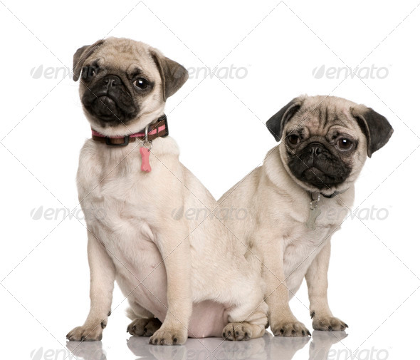 Two pug puppies, 3 and 4 months old, sitting in front of white background - Stock Photo - Images