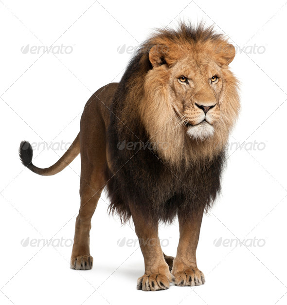 Lion, Panthera leo, 8 years old, standing in front of white background - Stock Photo - Images