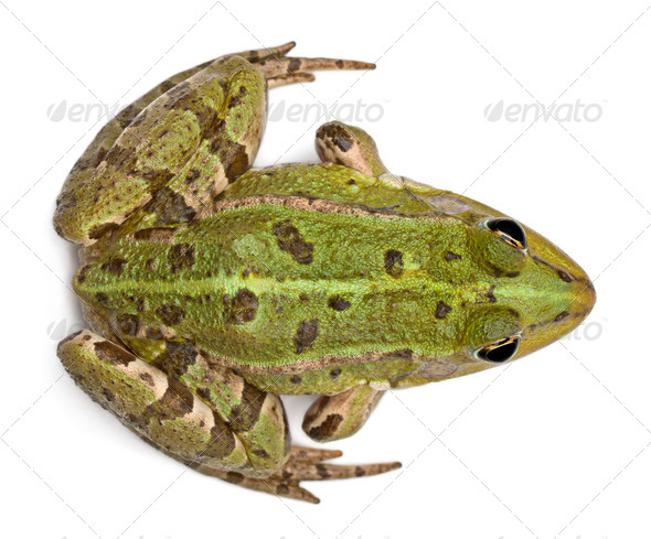 High angle view of Common European frog or Edible Frog, Rana esculenta, in front of white background - Stock Photo - Images