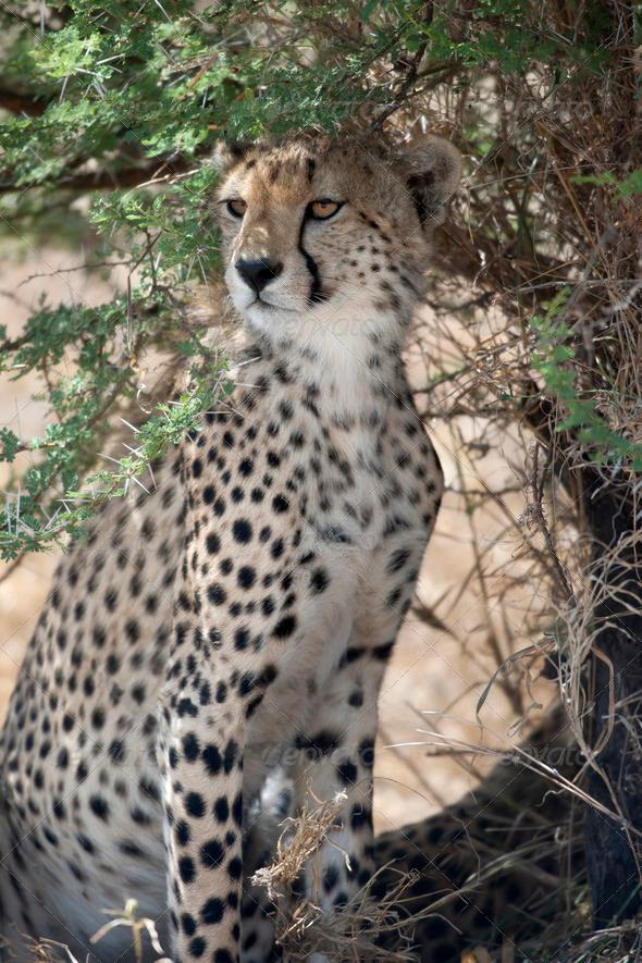 Cheetah, Acinonyx jubatus, in Serengeti National Park, Tanzania, Africa - Stock Photo - Images