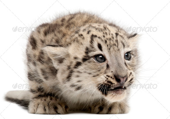 Snow leopard, Uncia uncia or Panthera uncial, 2 months old, in front of white background - Stock Photo - Images