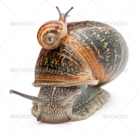 Garden snail with its baby on its shell in front of white background - Stock Photo - Images
