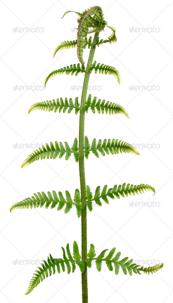 Fern leaf in front of white background - Stock Photo - Images
