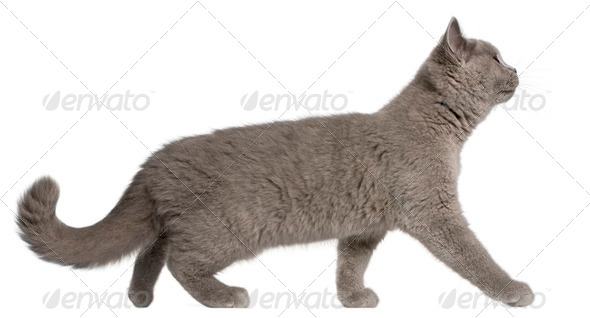 British Shorthair kitten, 3 months old, walking in front of white background - Stock Photo - Images