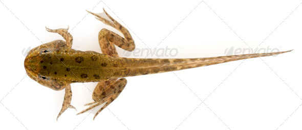Edible Frog, Rana esculenta, around 12 weeks old after hatching, in front of white background - Stock Photo - Images