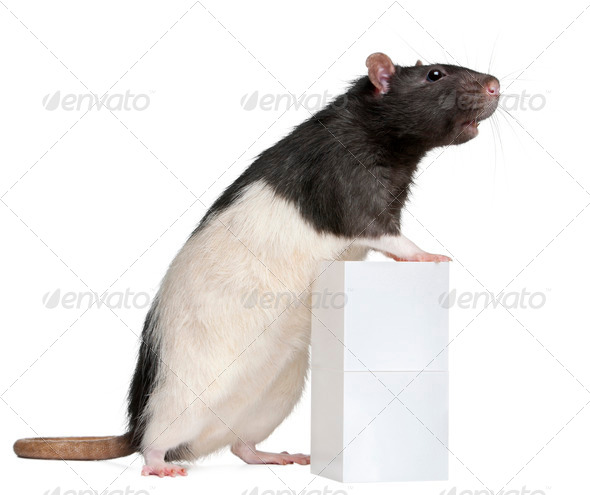 Fancy Rat, 1 year old, standing against box in front of white background - Stock Photo - Images