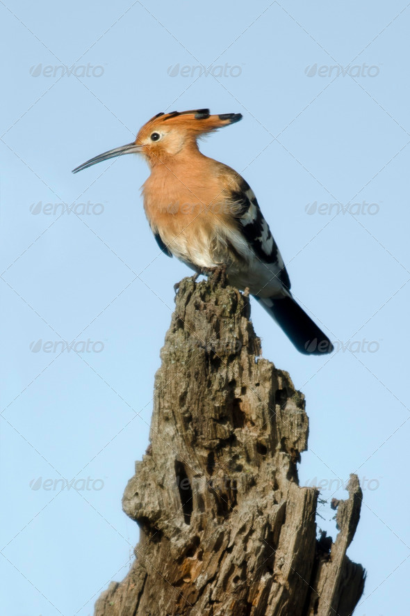 Hoopoe, Upupa epops, in Serengeti National Park, Tanzania, Africa - Stock Photo - Images