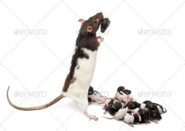 Fancy rat taking care of its babies in front of white background - Stock Photo - Images