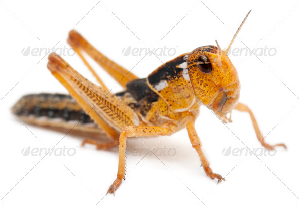 Asian Cricket in front of white background - Stock Photo - Images