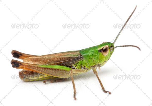 Cricket in front of white background - Stock Photo - Images